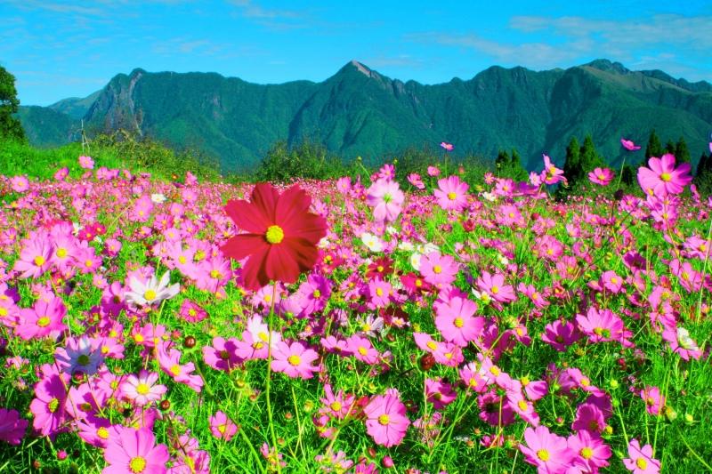 15福壽山波斯菊之美