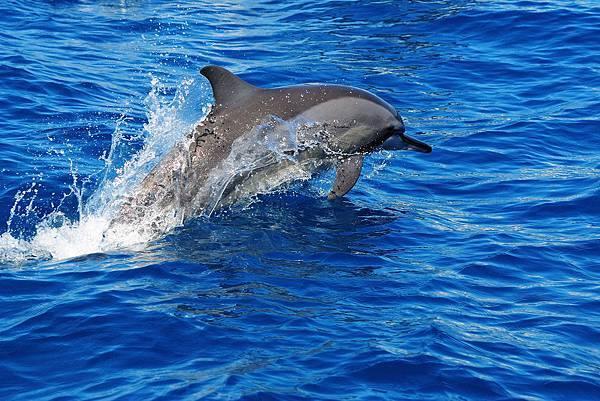 吻飛旋原海豚