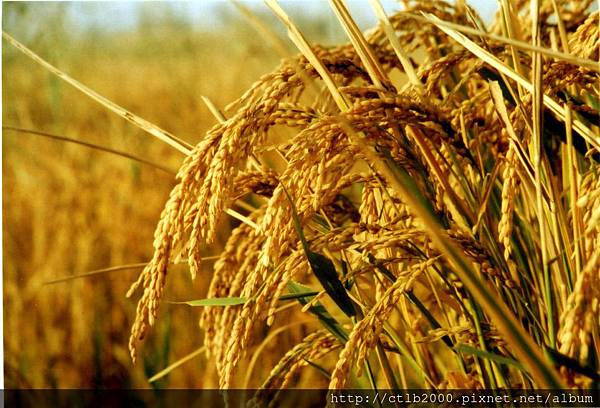 水稻3.jpg