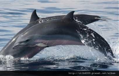 弗氏海豚3