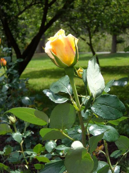 黃玫瑰02.jpg