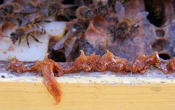 honey-bee-propolis.jpg