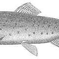 trout-gray.jpg