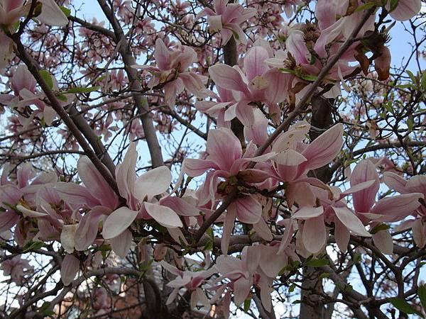 很美的花,狠大方的開滿整樹,也掉滿地