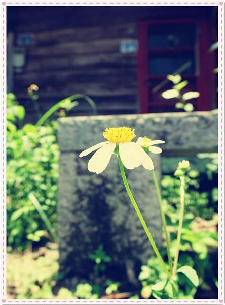老屋前小菊花