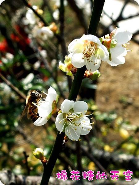 00梅山梅花蜜蜂2