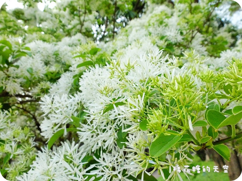 1459991874 1849829703 - 《台中賞花》大滿開!綠園道上流蘇樹上小小白色花兒開滿滿~快來賞花唷!
