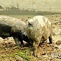 農場豬.JPG