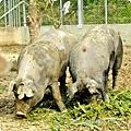 農場豬2.JPG