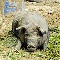 農場豬3.JPG