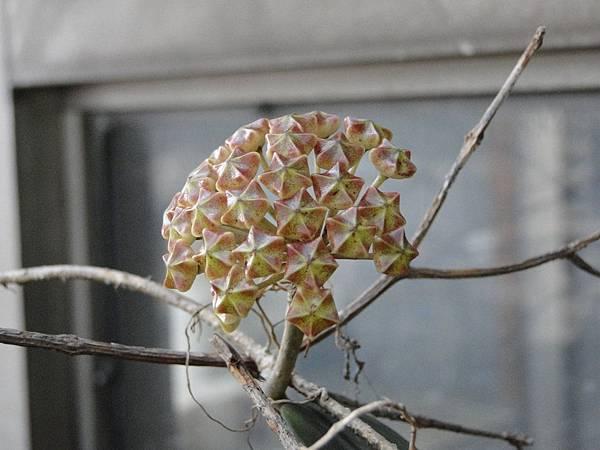 Hoya nicholsonii Bud