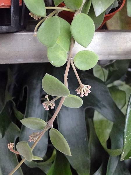 Hoya nummulariodes(Bud)