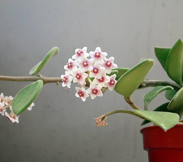 Hoya nummulariodes