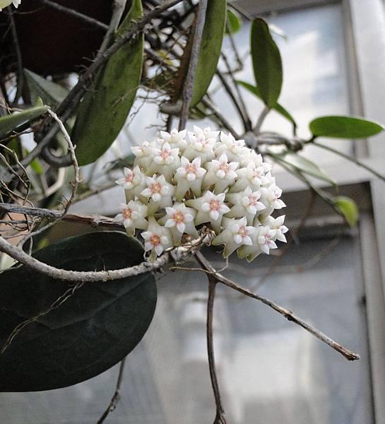 Hoya nicholsonii