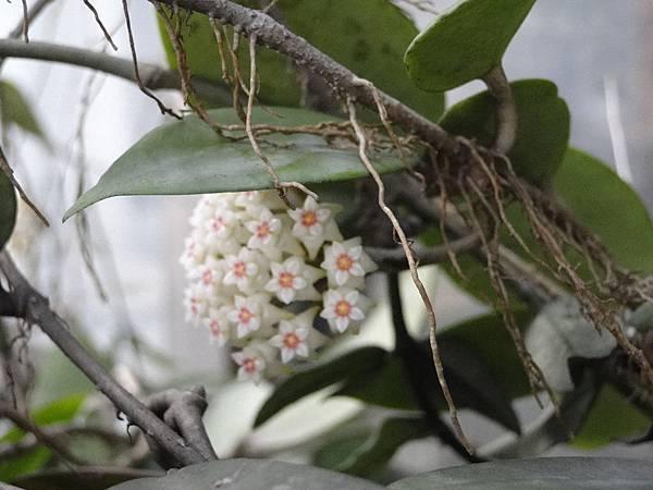 Hoya. limoniaca