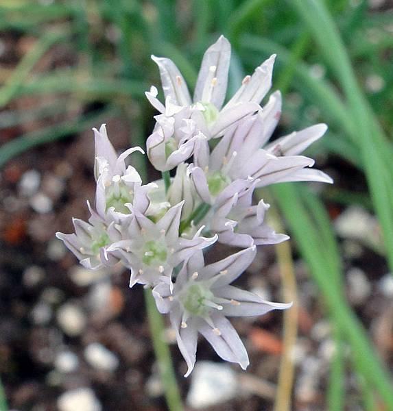 Allium schoenoprasum(Chives)