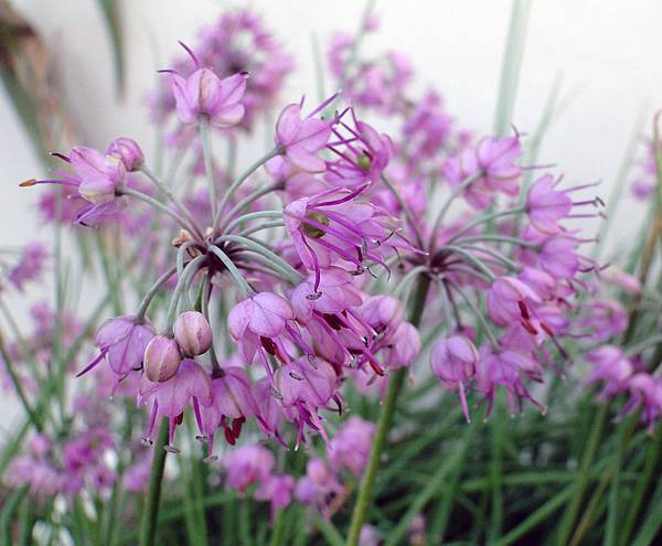 Allium chinense