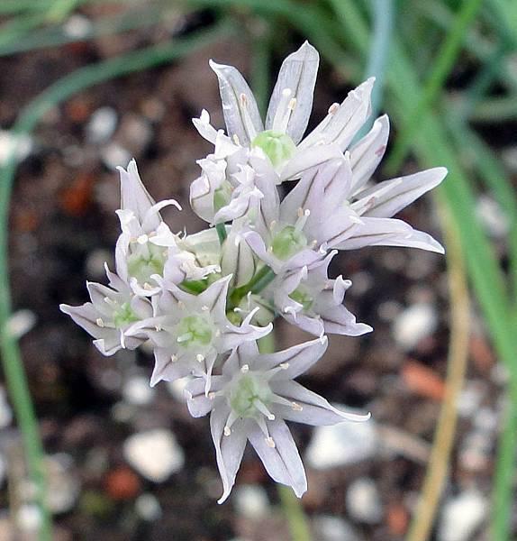 Allium schoenoprasum(Chives)1
