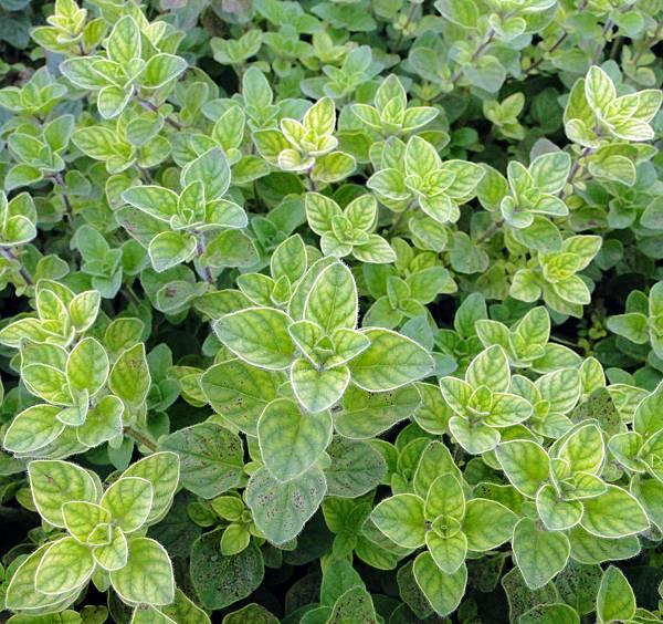 Origanum vulgare(Greek Oregano)