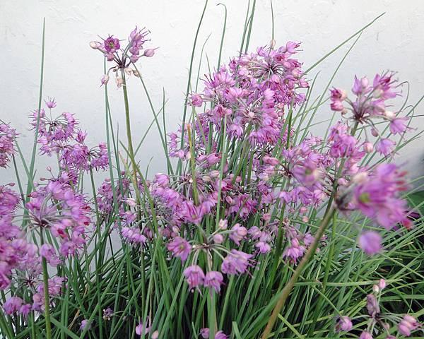 Allium chinense 1