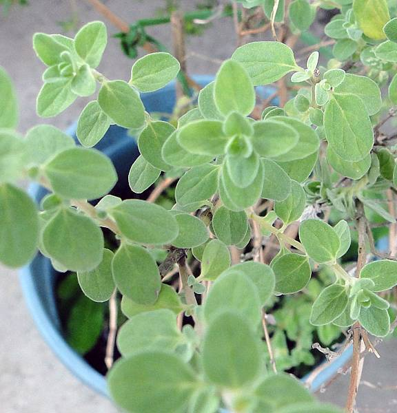 Origanum majorana(Majoran)