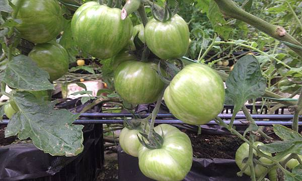 荷蘭~芝麻綠番茄