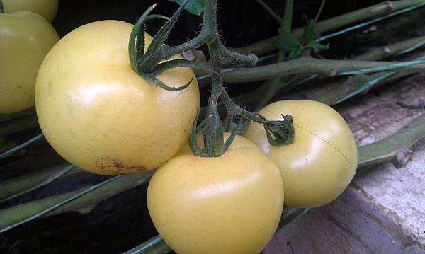 荷蘭~黃金番茄