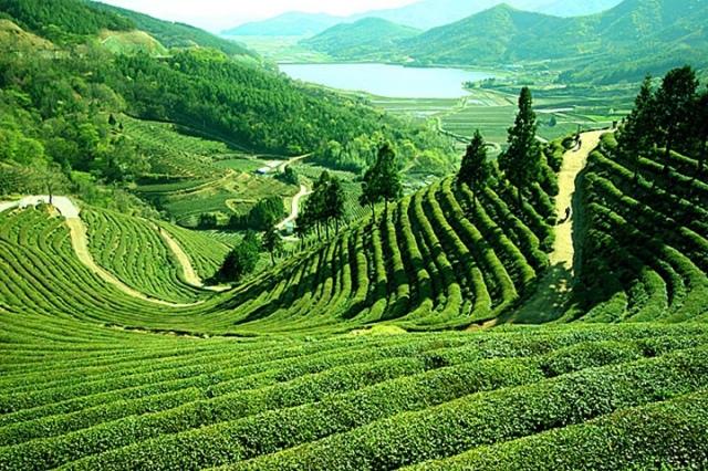 Assam-tea-garden