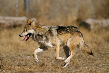 800px-Canis_lupus_baileyi_running.jpg