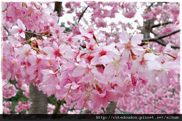 櫻花近一點看