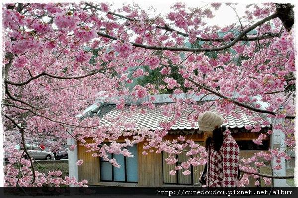 櫻花配日式建築 美