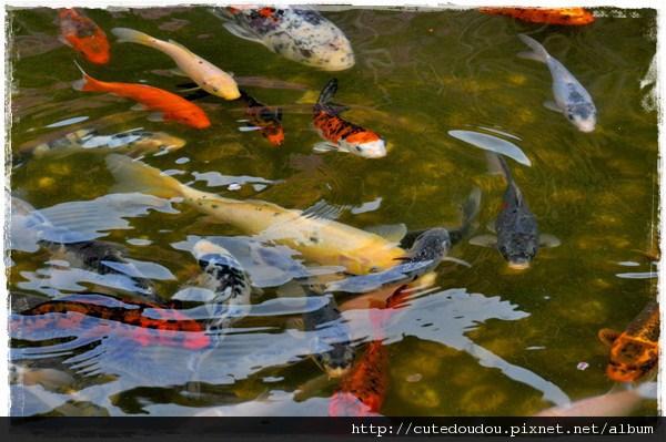 武陵農場的鯉魚