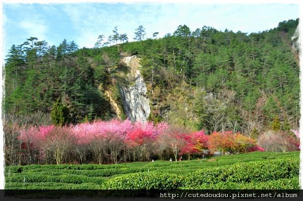 山中裡的櫻花