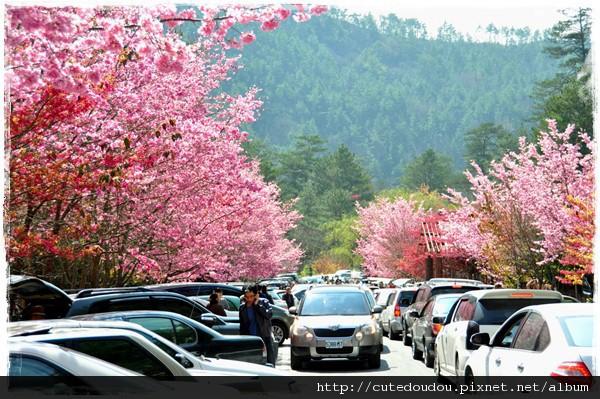 大塞車中的櫻花下停車場