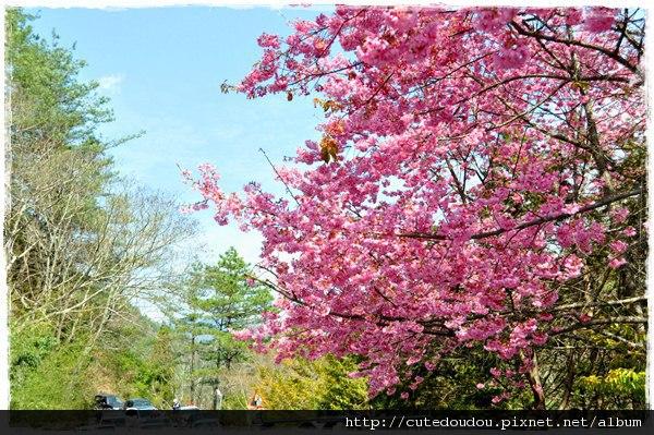 美麗櫻花與滿滿的車子