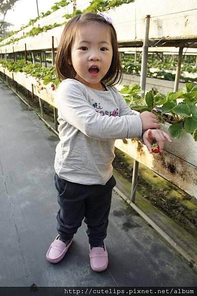 小希採草莓
