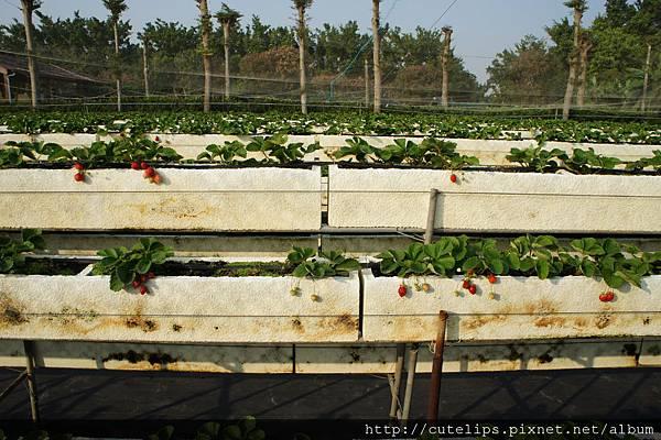 高架草莓園