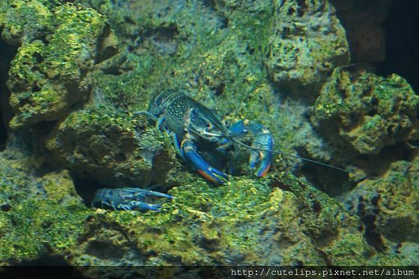 電藍色龍蝦