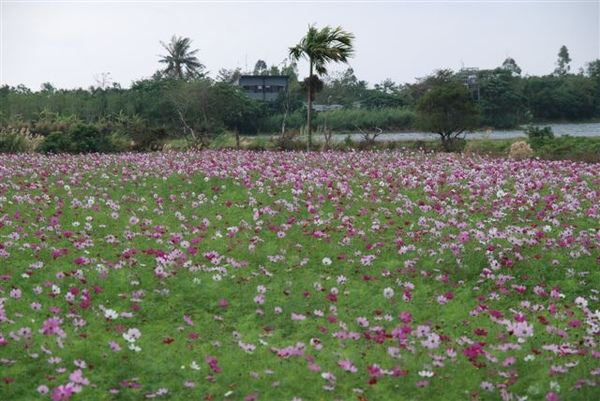 現在休耕的田都種了漂亮的花
