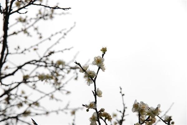 梅花梅花滿天下