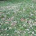 滿地的油桐花