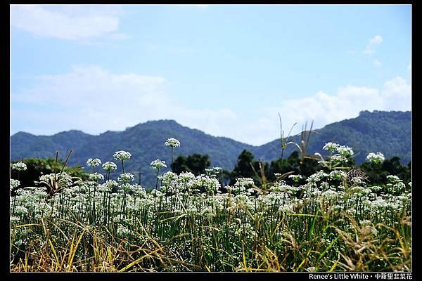 2012.09.27 大溪中新里韭菜花_DSC_9515
