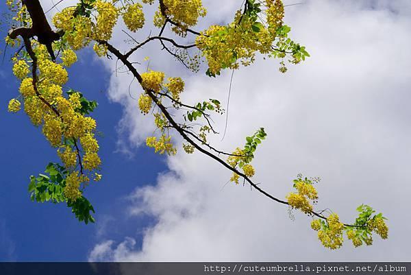 2015.05 .29 台南羊蹄甲_DSC8508-1.jpg