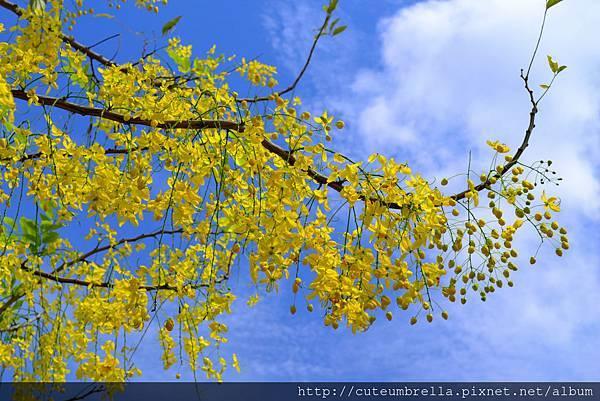 2015.05 .29 台南羊蹄甲_DSC8519-1.jpg