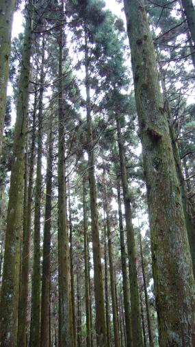 觀霧-杉樹林