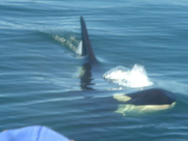 超帥的殺人鯨  穿過我們船底下