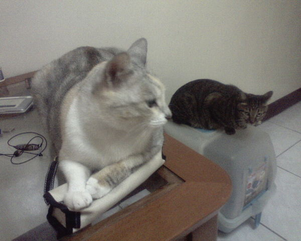 書桌上的貓
