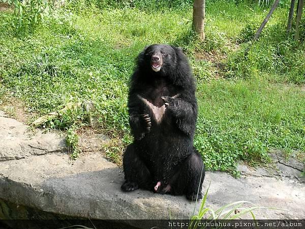台灣黑熊.jpg