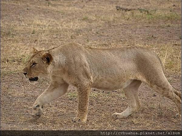 母獅.jpg