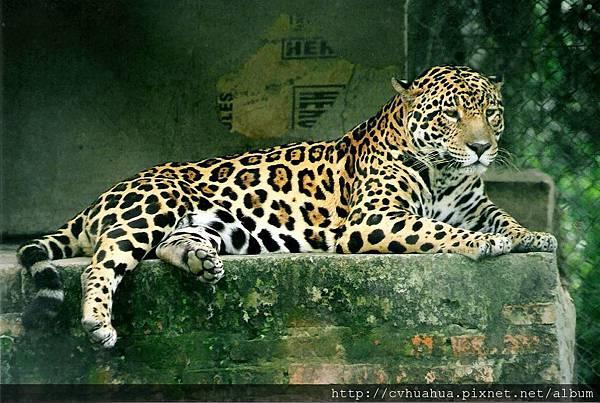 美洲豹.jpg